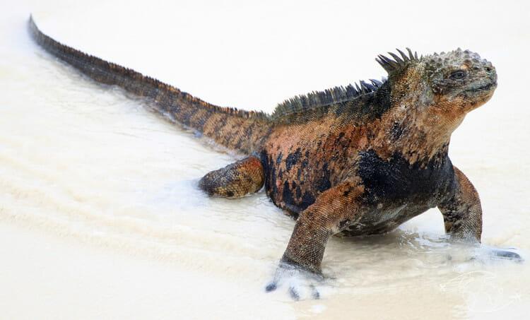 Iles Galapagos - Iguane marin des Galapagos