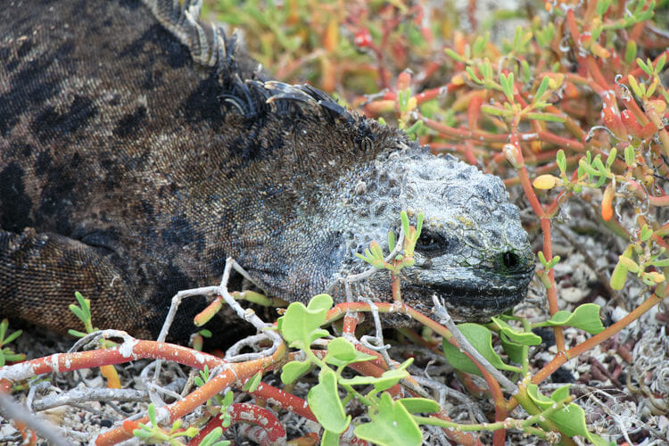 Visiter les Galapagos - Iguane marin - île Isabela