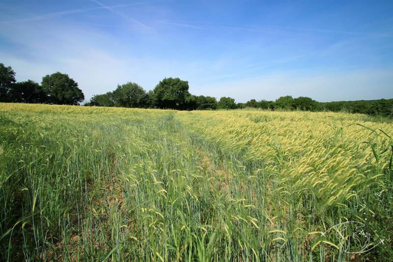 Randonner en Deux-Sèvres - Champ de blé