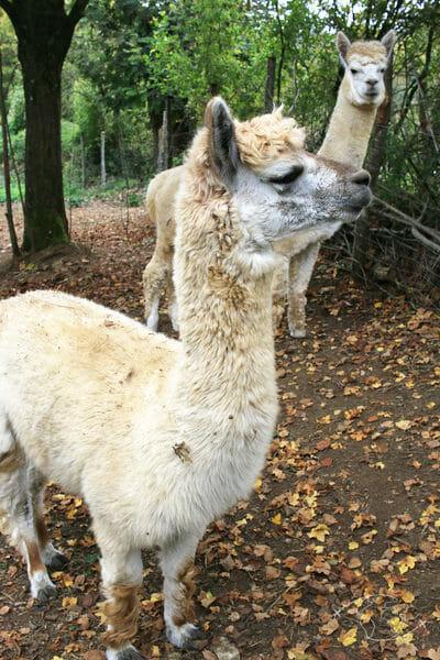 Randonner en Deux Sèvres - Elevage de lamas alpagas