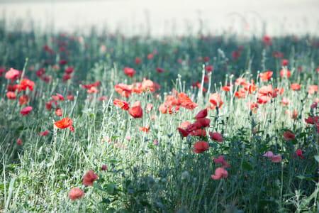 Randonnée Larzac - champ de fleurs du Larzac 3