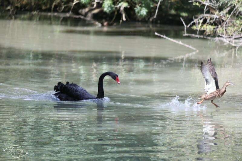 Jeu d'oiseaux - cigne noir et canard - Parc Ornithologique - Marais Poitevin