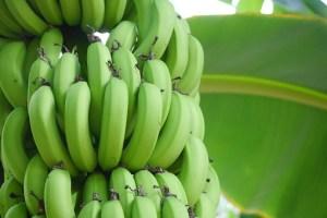 所さんお届けモノです!皮ごと食べられるバナナ