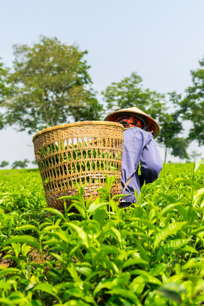 15. Women with conical hat working on green tea plantation, Bao Loc, Lam Dong, Vietnam by Tom Phung / Picfair