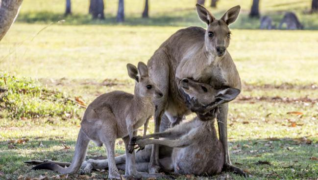 male Kangaroo mating causes death of female looks like he is cradling as she reaches for teh joey