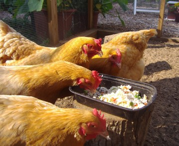 Chicken eating food should we feed our pets scraps