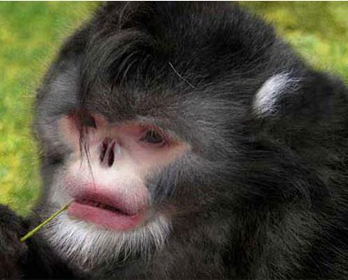 sneesing-monkey