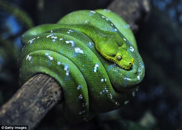 tree_boa_snakes