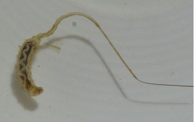 rat-tail-maggot
