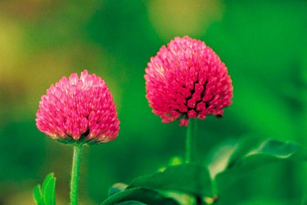 red-clover-herb
