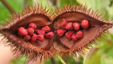 Annatto is an orange-red condiment and food coloring derived from the seeds of the achiote tree