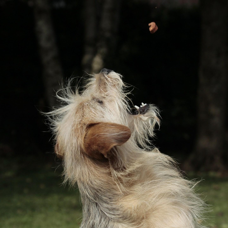 Help, mijn hond bidt niet veur brune bonen! – Over honden met een motivatieprobleempje