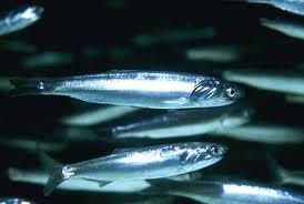 Manfaat Ikan Teri Untuk Kesehatan: Cegah Osteoporosis