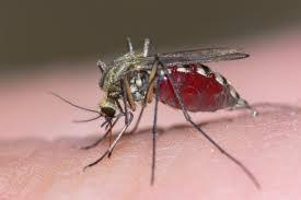 Manfaat Nyamuk Untuk Kesehatan