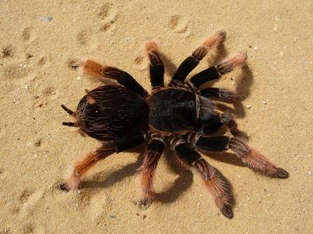 Arti Mimpi Laba Laba Tarantula