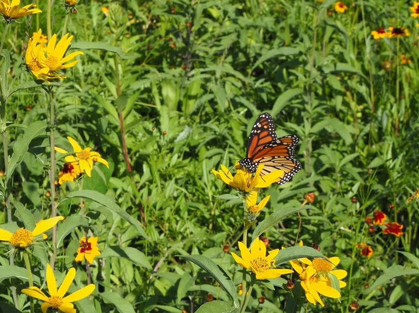 field of yellow flowers with a monarch butterfly on on of the flowers
