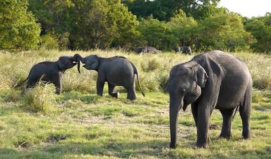 elephants safari sri lanka