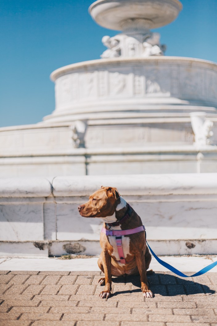 Apricot, a rescue dog with Detroit Dog Rescue, watches seagulls in front of the James Scott Memorial Fountain.