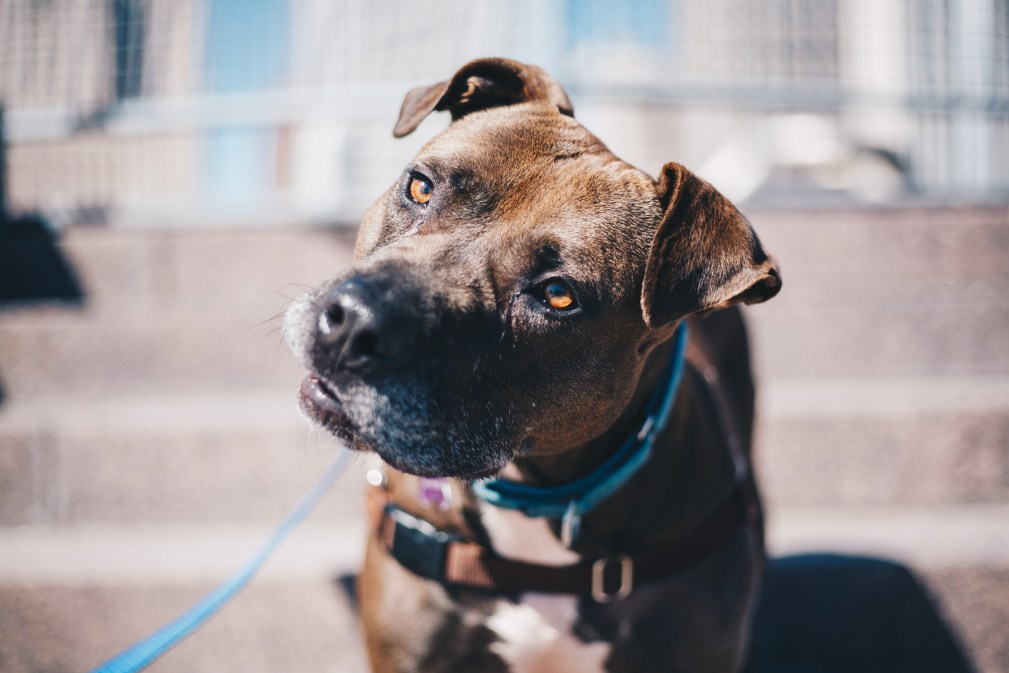 Starbucks, a dog with Detroit Dog Rescue, is ever curious about what is happening around him. Photo Stephanie Hume.