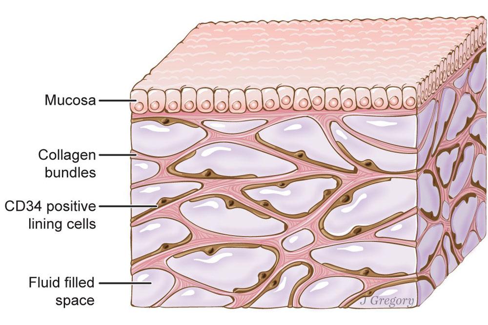 Descubren el intersticio un órgano desconocido en la anatomía humana