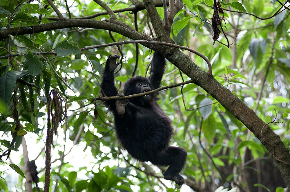 Fjellgorilla, mountain gorilla, safari