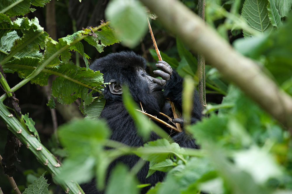 Fjellgorilla, mountain gorilla, Rwanda, Volcanoes National Park