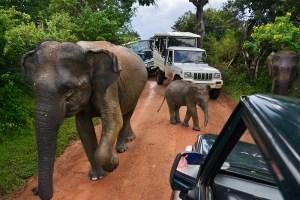 asiatisk elefant elefantunge Sri Lanka Yala National Park safari