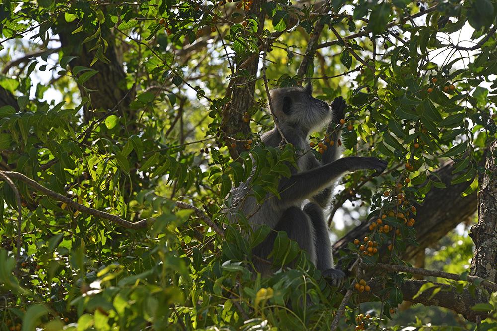 ape, yala, safari i Sri Lanka