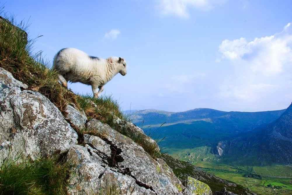 Sau i en bratt bakke i Snowdonia