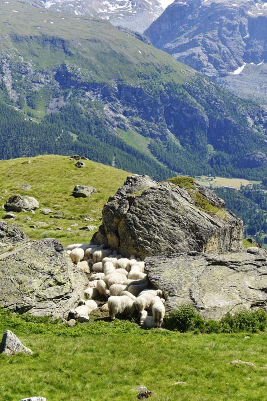 Saueflokk i de sveitsiske alpene