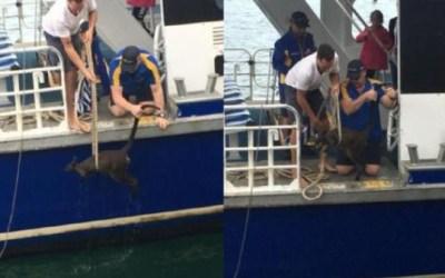استراليا : إنقاذ كنغر صغير من الغرق ( فيديو )
