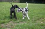 Deutsche Doggen begrüssen sich erstmalig