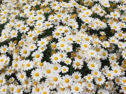 daisies-1077377_640