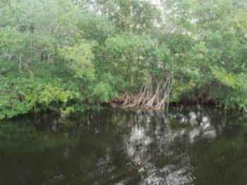 Everglades - Mangrove