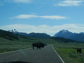 Lamar Vallée - bison