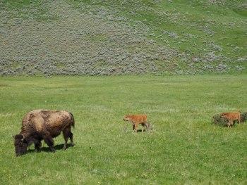 Lamar Vallée - bisons et bébés
