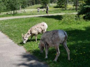 Mouflonnes aux Sources Miette à Jasper