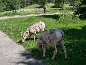 Mouflonnes aux Sources Miette