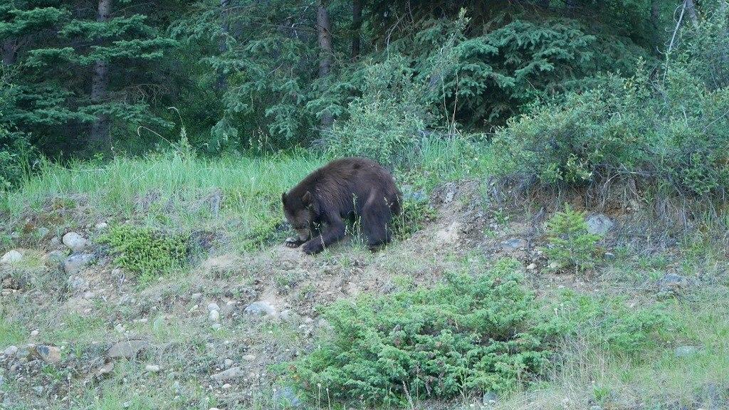 Ours noir sur le bord de route à Jasper