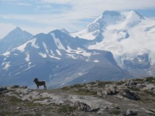 Wilcox Pass Trail - Big Horn Sheep à Jasper