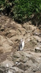 Manchot humbolt sur Chiloe