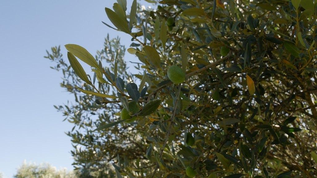Des olives vertes chez Yancanelo à San Rafael