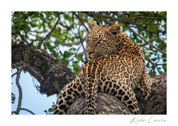 A leopard sitting in a tree.