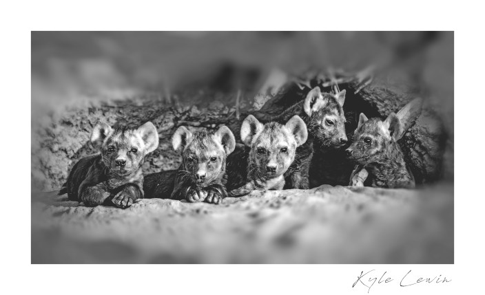 Baby spotted hyenas in the den.