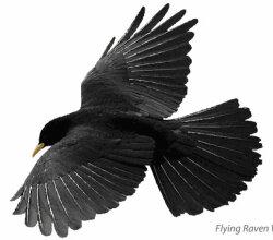 Flying Raven Vector Image