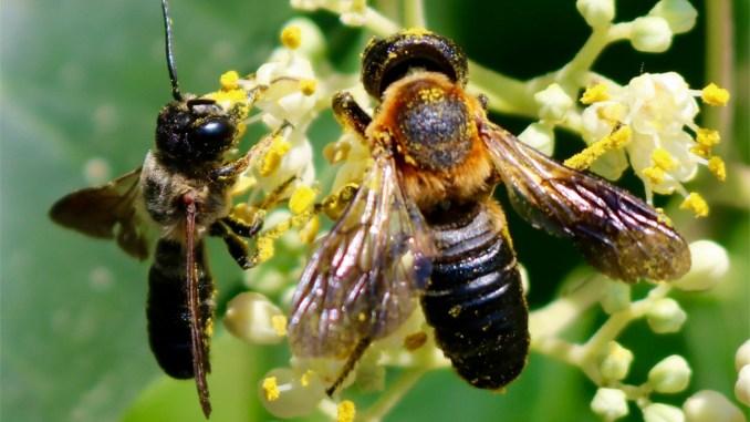 Die Asiatische Mörtelbiene Megachile sculpturalis, CH TI Minusio CC BY-SA 4.0 Frederike Rickenbach, Zürich, Schweiz