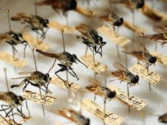 Fliegen, entomologische Sammlungen der US Navy Division Joint Base Pearl Harbor-Hickam (NEPMU) 6, public domain