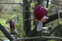 Magnolia x soulangiana, saucer magnolia