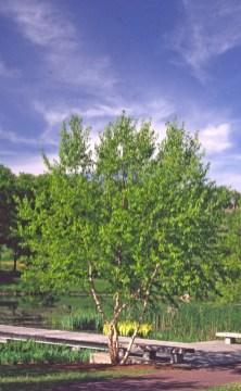 Betula nigra Habit May 30