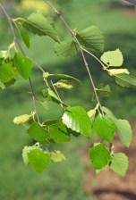 Betula nigra female flowers lvs